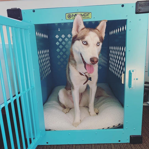 siberian husky in teal stationary 500 impact crate