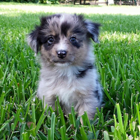 merle puppy in grass