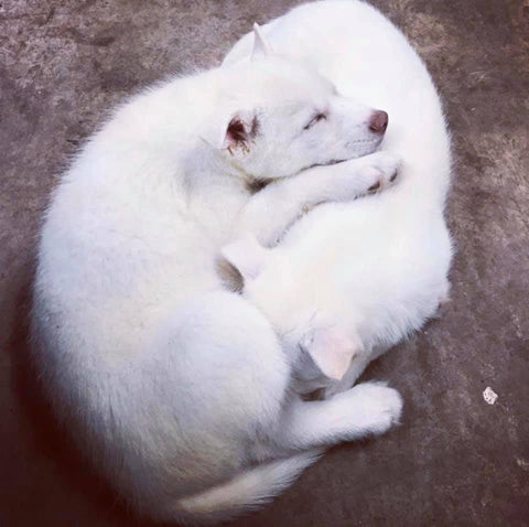 white puppies cuddling