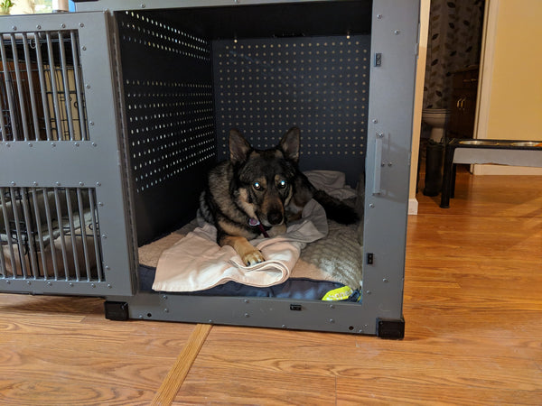 wolf dog hybrid relaxing in escape proof dog crate
