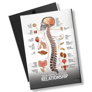 "Chiropractic ""Relationship"" Spine, Organ, Nerve Chart"