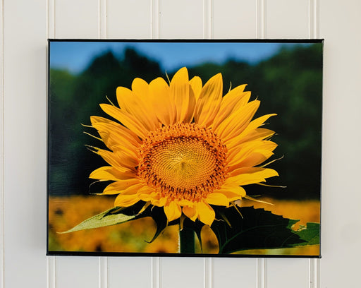 sunflower canvas photo