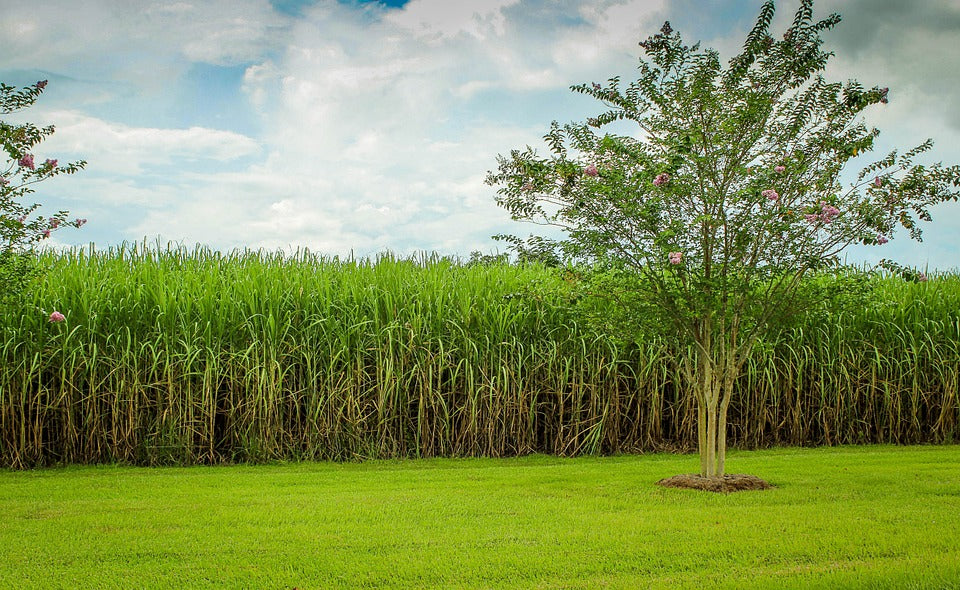 Sugar Cane Grown Organically