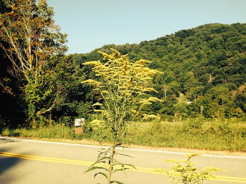 Goldenrod on the Roadsides