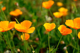 California Poppy (Eschscholzia californica) Fresh Herb Plant Flower and Leaf