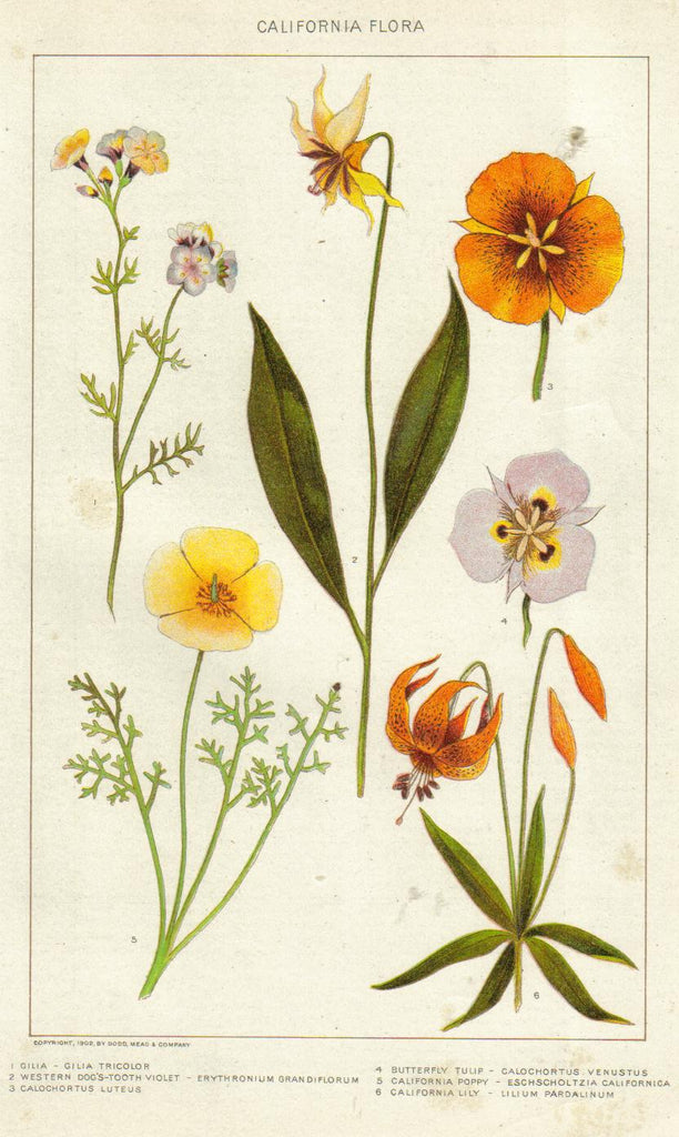 California Poppy Vintage Botanical Illustration