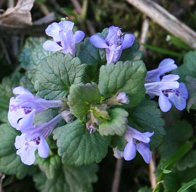 Ground Ivy (Glechoma hederaceae) Fresh Wild Herb Plant Flower Blossom