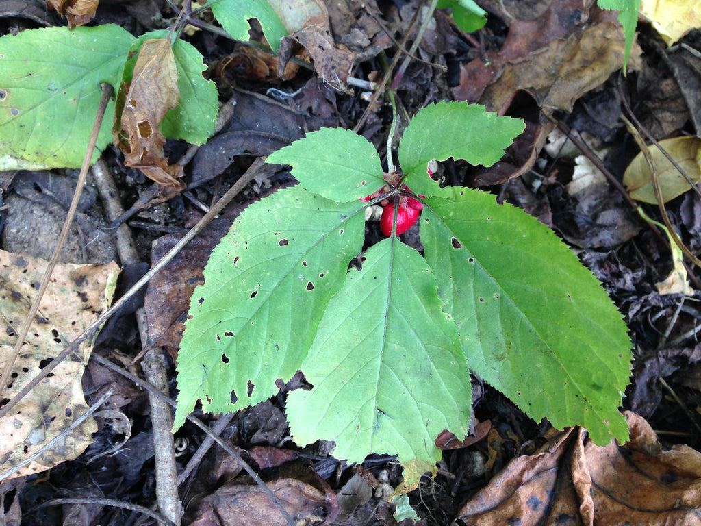 American Ginseng (Panax quinquefolius) Plant Leaf and Berry