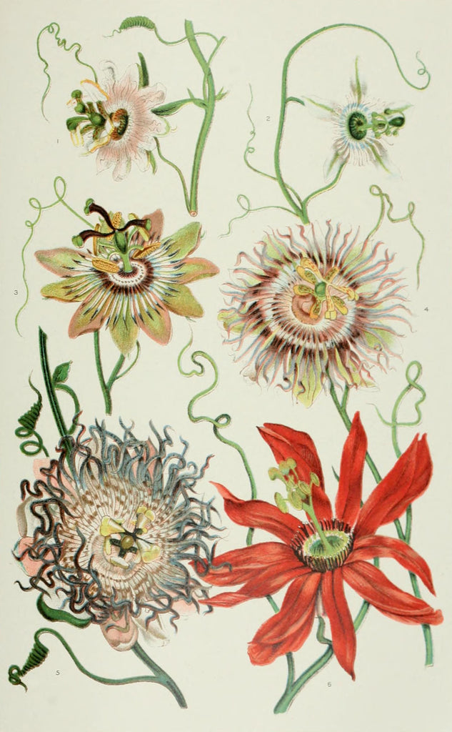 Passionflower (Passiflora incarnata) Vintage Botanical Illustration
