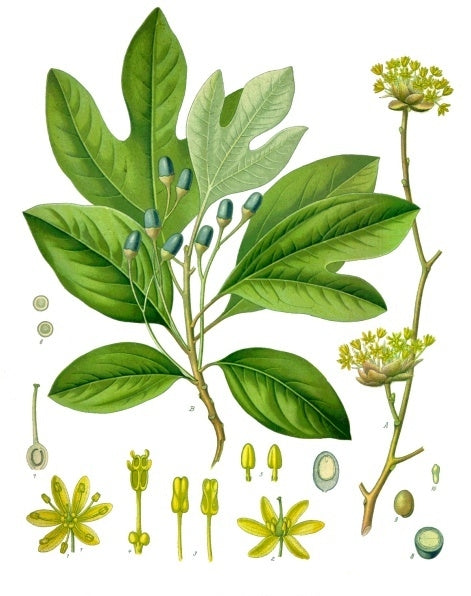 Sassafras Albidum Vintage Botanical Illustration