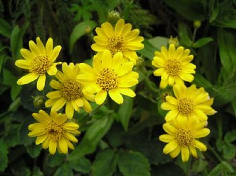 Arnica Herb Fresh Flower