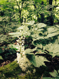 Black Cohosh (Actaea racemosa)-Extracts-Red Moon Herbs