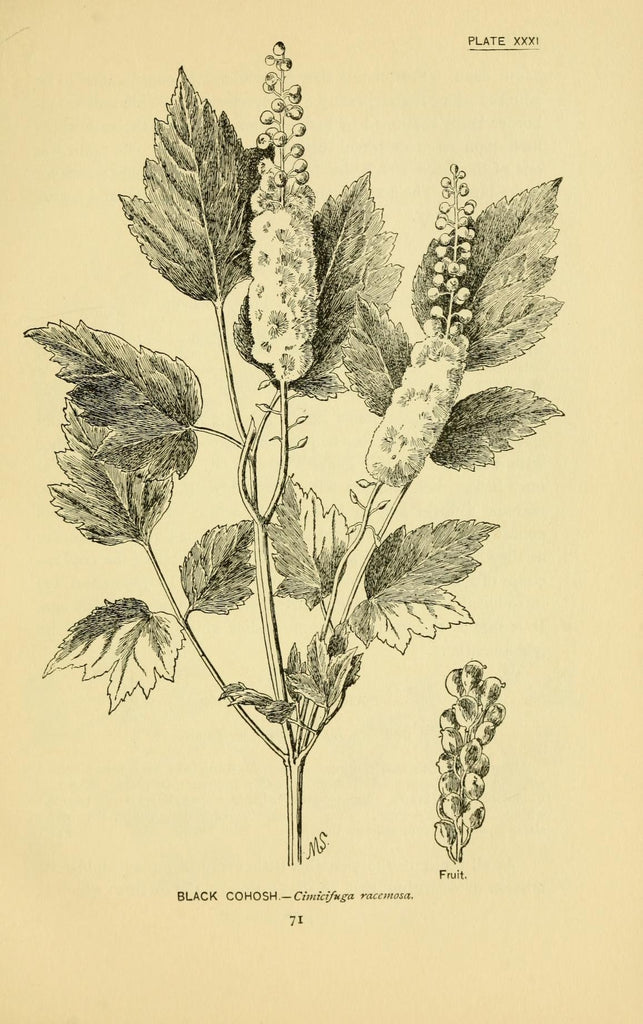 Black Cohosh (Actaea racemosa) Vintage Botanical Illustration