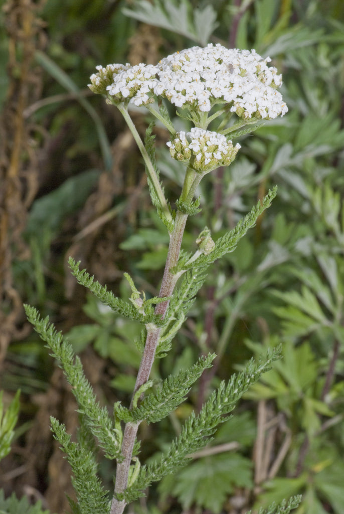 Yarrow (Achillea Millefolium) Wild White Plant Flower and Leaf