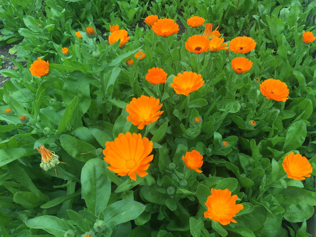 Calendula (Calendula officinalis) Fresh Plant Herb Flower Blossoms and Leaf