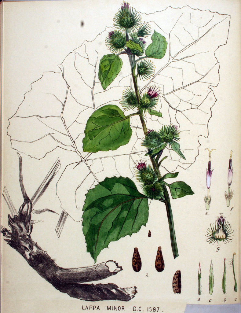Burdock (Arctium lappa/minus) Vintage Botanical Illustration