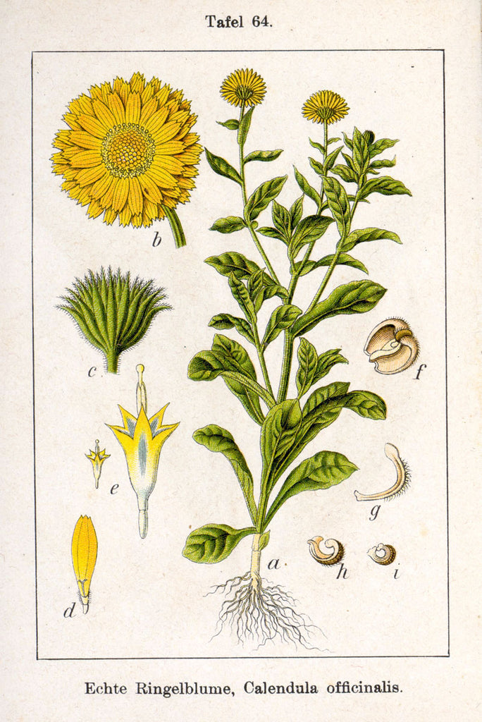 Calendula (Calendula officinalis) Vintage Botanical Illustration