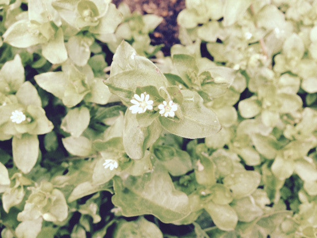 Chickweed (Stellaria media) Fresh Wild Plant Herb Leaf Flower