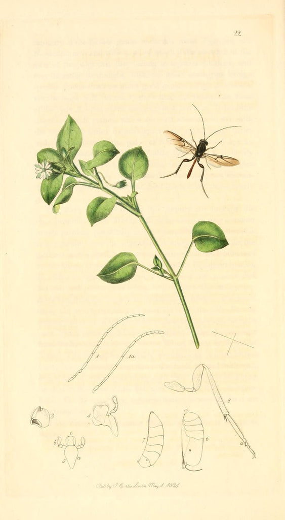 Chickweed (Stellaria media) Vintage Botanical Illustration