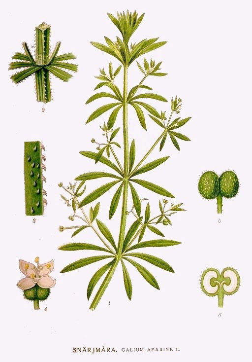 Cleavers (Galium aparine) Vintage Botanical Illustration