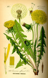 Dandelion (Taraxacum officinale) Vintage Botanical Illustration