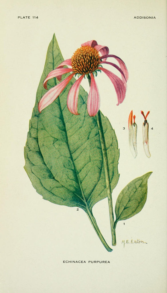 Echinacea (Echinacea purpurea/angustifolia) Vintage Botanical Illustration