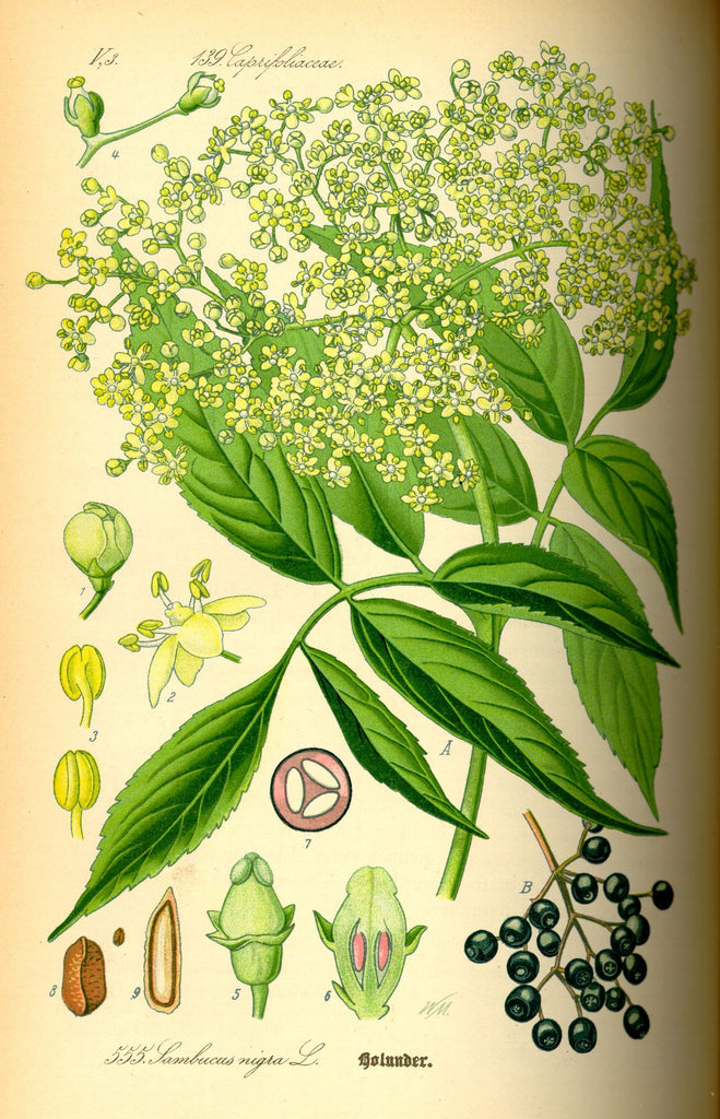 Elderberry and Elderflower (Sambucus nigra / canadensis) Vintage Botanical Illustration
