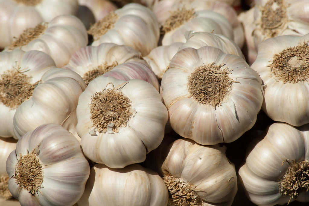 Garlic (Allium sativum) Herb Root Bulb
