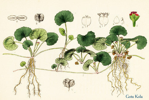 Gotu Kola (Centella asiatica) Vintage Botanical Illustration