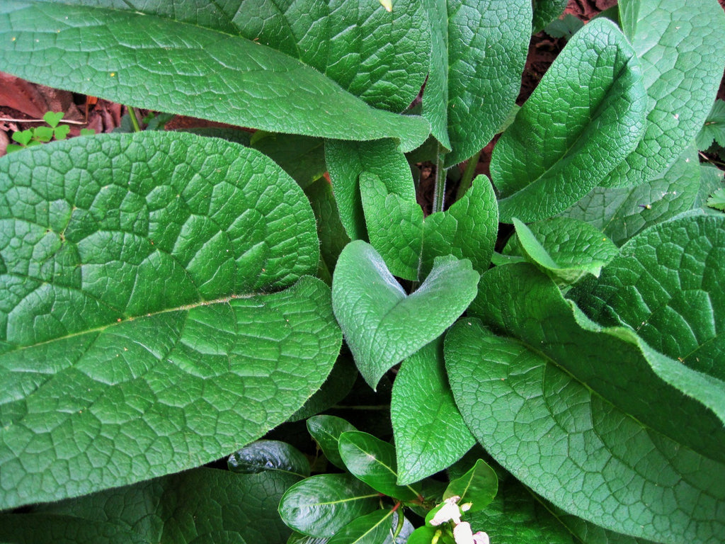 Comfrey (Symphytum officinale) Fresh Herb Plant Leaf