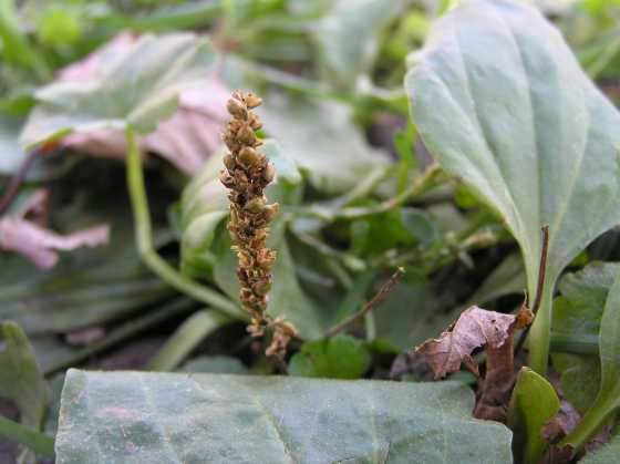 Plantain (Plantago major/lanceolata) Fresh Wild Plant Leaf Herb