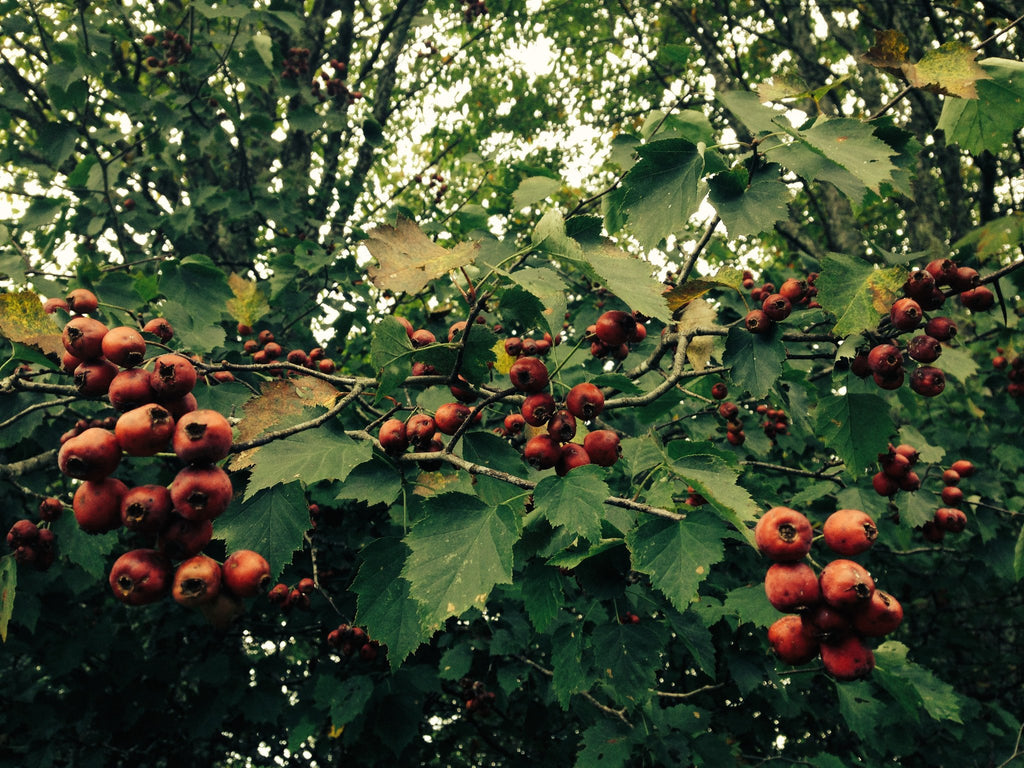 Hawthorn Berry (Crataegus spp.) Wild Tree Fruits and Leaves