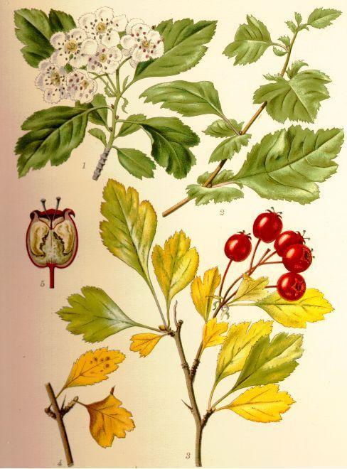 Hawthorn Berry (Crataegus spp.) Vintage Botanical Illustration