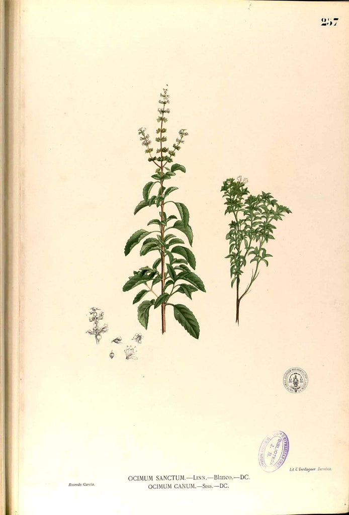 Holy Basil Tulsi (Ocimum sanctum) Vintage Botanical Illustration
