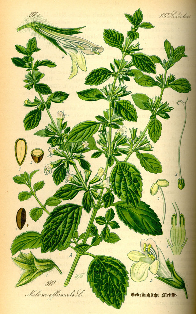 Lemon Balm (Melissa officinalis) Vintage Botanical Illustration