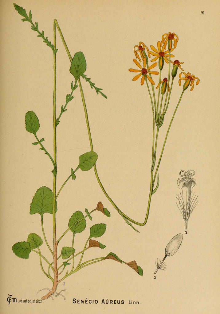 Liferoot (Senecio aureus) Vintage Botanical Illustration