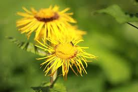 Elecampane (Inula helenium) Fresh Herb Plant Flower and Leaf
