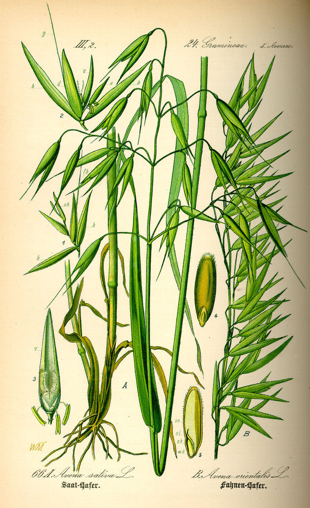 Milky Oats (Avena sativa) Vintage Botanical Illustration