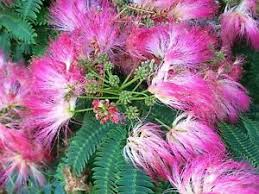 Mimosa (Albizia julibrissin) Fresh Herb Leaf and Flowers Blossoms