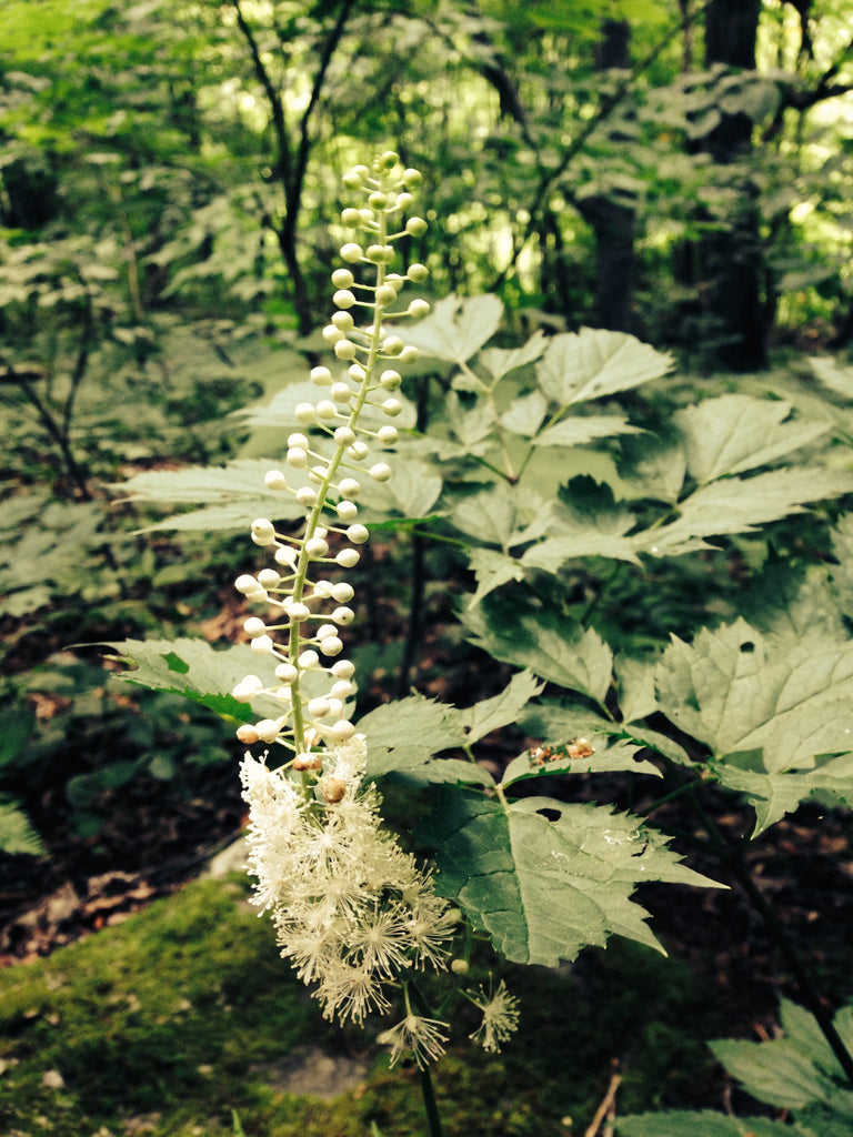 Black Cohosh (Actaea racemosa) Herb Plant Leaf and Flower