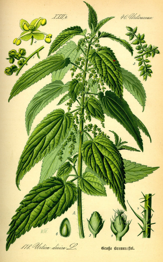 Stinging Nettle (Urtica dioica) Vintage Botanical Illustration