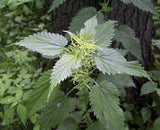 Nettle (Urtica dioica) Fresh Plant Herb Leaf and Seed Flower Blossom