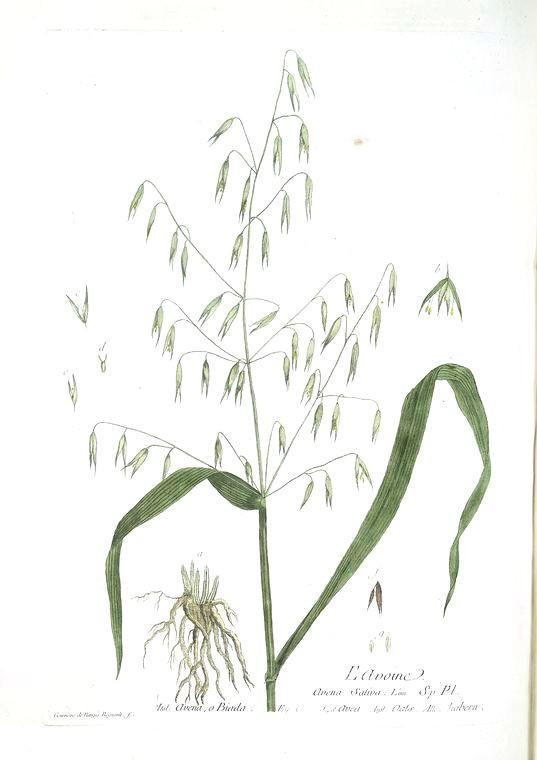 Milky Oats or Oatstraw (Avena sativa) Vintage Botanical Illustration