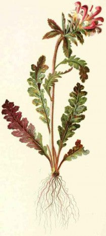 Pedicularis (Pedicularis canadensis) Vintage Botanical Illustration