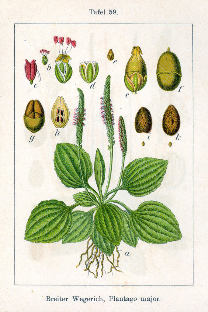 Plantain (Plantago major/lanceolata) Vintage Botanical Illustration