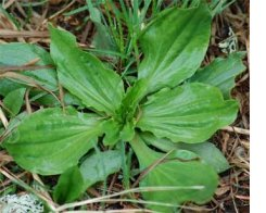 Plantain (Plantago major/lanceolata) Wild Fresh Herb Plant Leaf