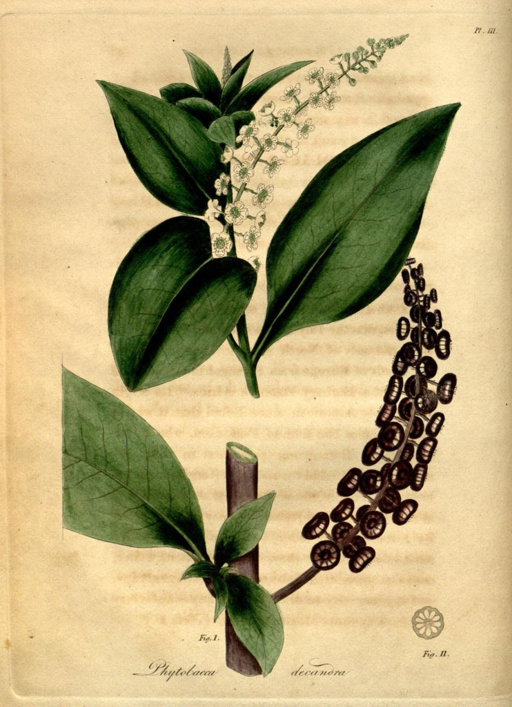 Poke Root (Phytolacca americana) Vintage Botanical Illustration