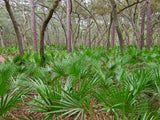 Saw Palmetto (Serenoa repens) Wild Herb Plant Leaf and Berry