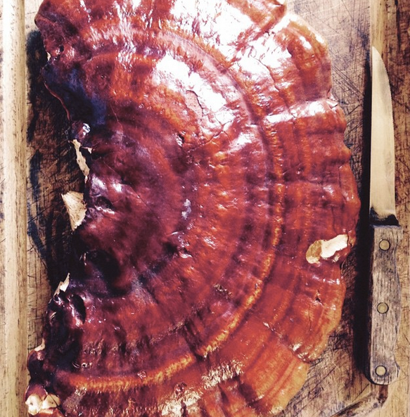 Reishi Wild Mushroom (Ganoderma tsugae) Being Sliced Up