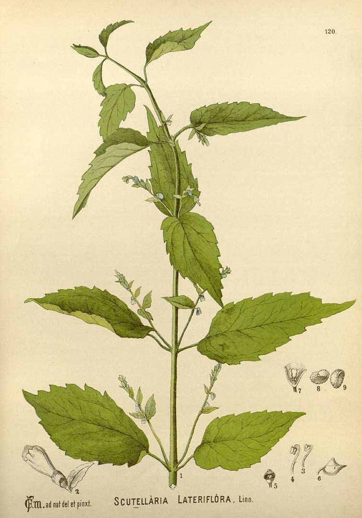 Skullcap (Scutellaria spp.) Vintage Botanical Illustration